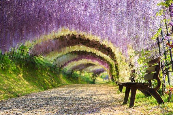 Тоннель Вистерия, Япония