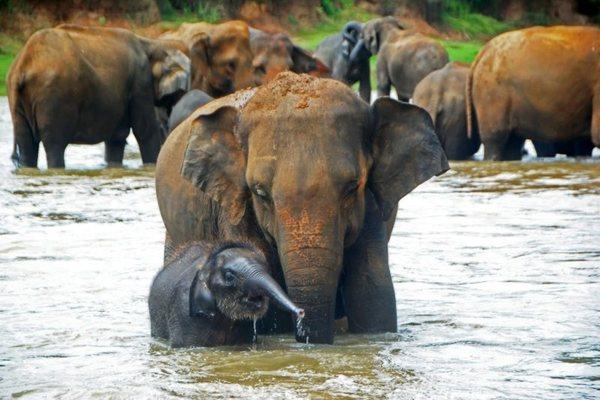 Слоновий питомник в Шри-Ланке